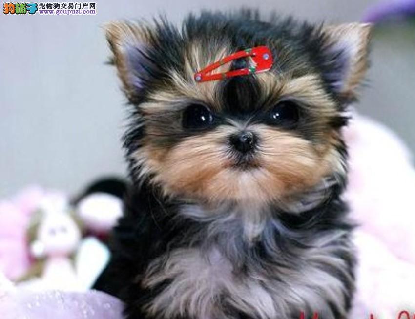 武汉哪里有金头银背的约克夏犬 约克夏犬多少钱能买到