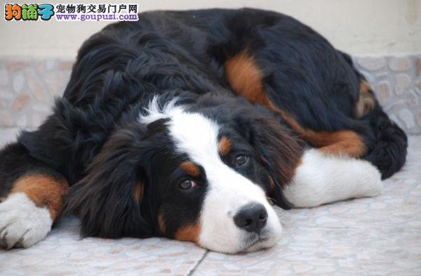 正规犬舍繁殖纯种伯恩山幼犬 公母均有疫苗齐全包健康