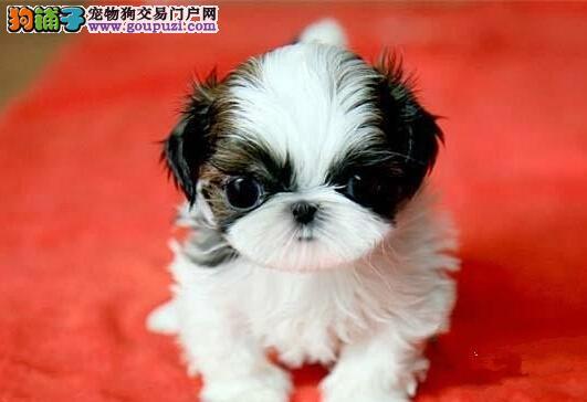 多种颜色的南昌西施犬找爸爸妈妈CKU认证品质绝对保障