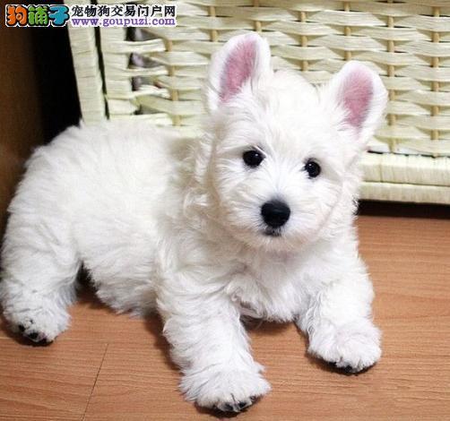 西高地幼犬出售中 血统纯正包品质 质保健康90天