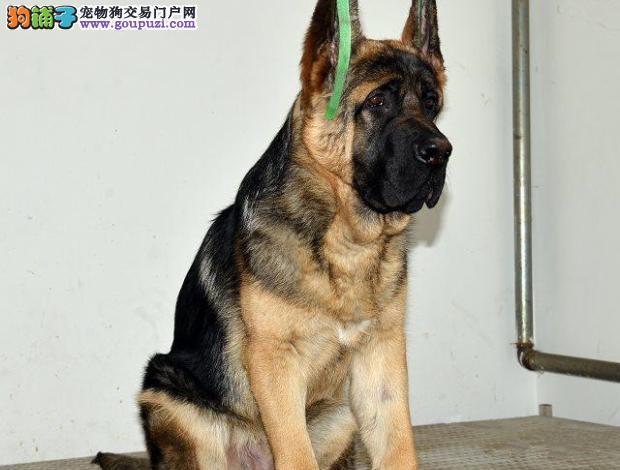 上海大型犬舍低价热卖极品昆明犬血统证书芯片齐全