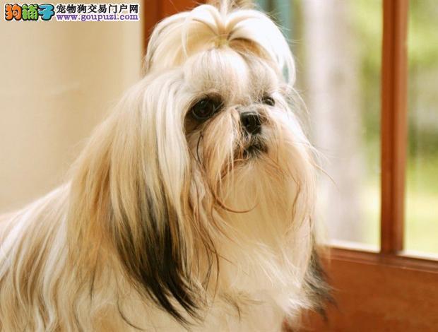 高品质西施犬宝宝,CKU认证犬舍,签订活体协议