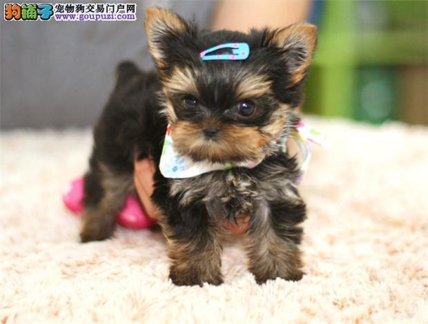 纯种小型约克夏幼犬 健康可爱 约克夏