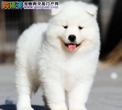 重庆犬舍低价热销 萨摩耶血统纯正终身售后协议