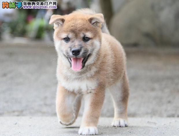 威海纯种柴犬 签协议 包成活 上门选狗 外地空运