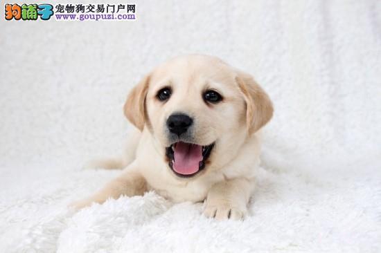 出售纯种拉布拉多犬幼犬导盲犬赛级品质神犬小七活体