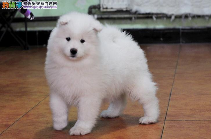 萨摩耶犬、保纯种、保健康、签订协议、终身质保可刷卡