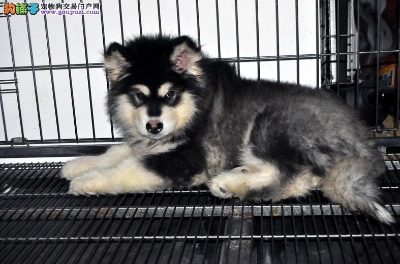 出售纯种健康专业狗场繁殖签协议 可上门挑一阿拉斯加