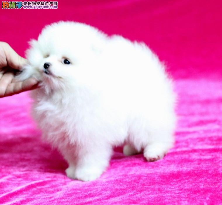 成都最大的赛级博美幼犬基地 可视频 签订协议送用