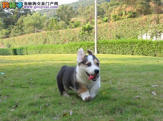纯种三色双色柯基犬、小短腿大屁股、健康质量保障