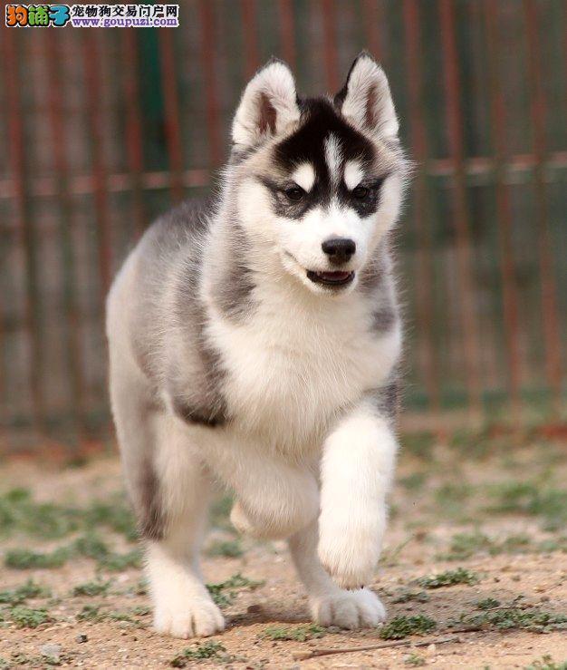 正规犬舍基地出售 双蓝眼三把火雪橇犬 哈士奇 包养活