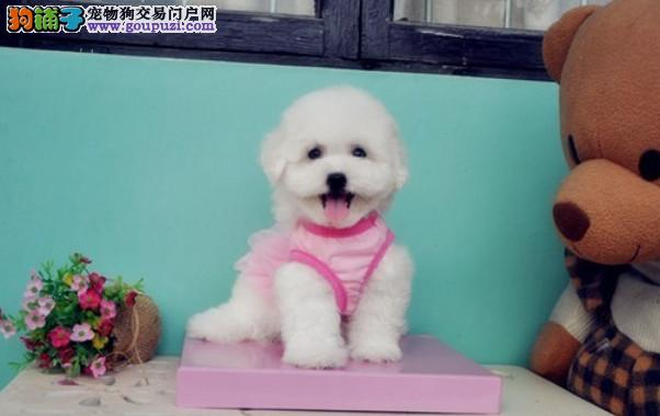 加微信视频看狗、卷毛比熊、可上门挑选、签质保协议