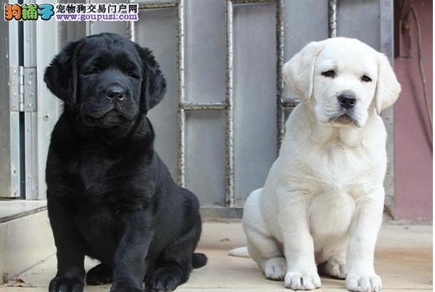 拉布拉多犬出售    杨浦出售