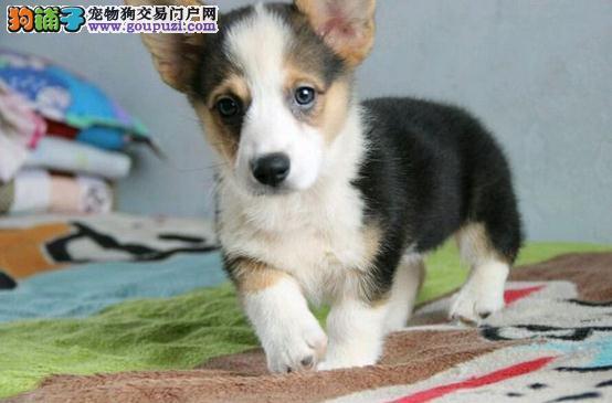 柯基犬出售,三色两色柯基,英国女王首选柯基犬狗狗