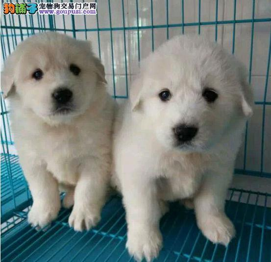 出售大白熊狗狗      犬舍转让CKU血统