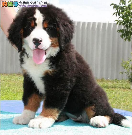 上海犬舍  伯恩山    纯种幼犬大型狗
