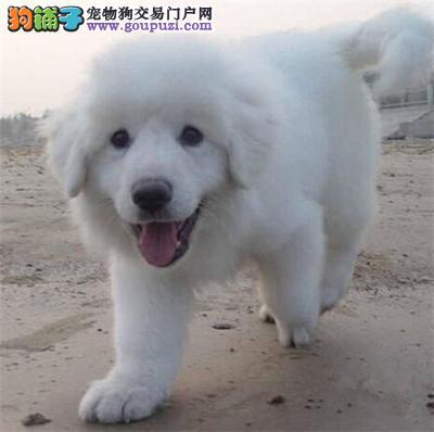 郑州 哪里有纯种大白熊卖 大白熊好养吗