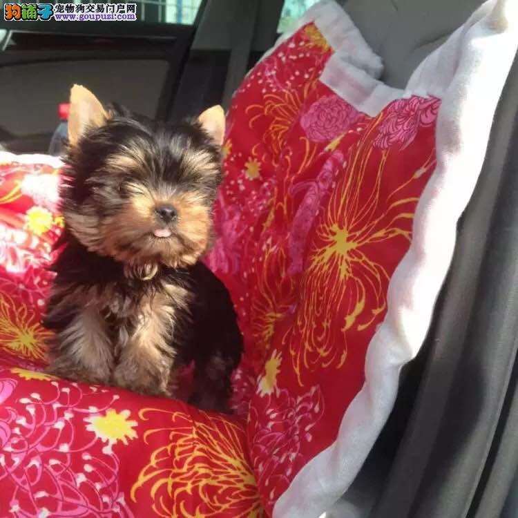 成都哪里有约克夏犬宠物狗出售 诚信交易 健康纯种质保