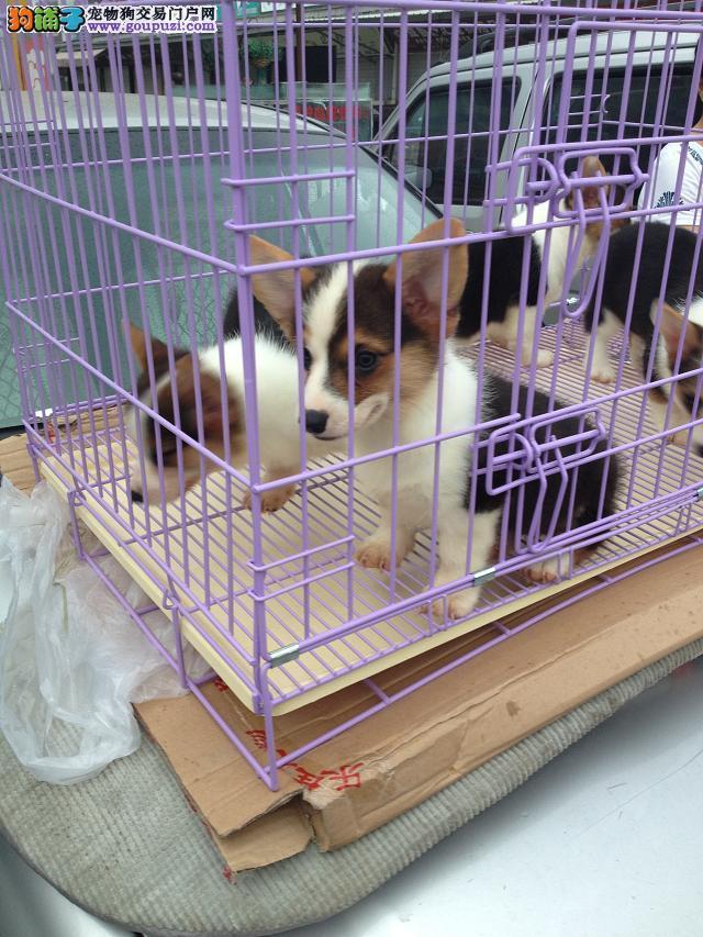 成都纯种柯基幼犬出售 健康纯种协议质保 两色三色的