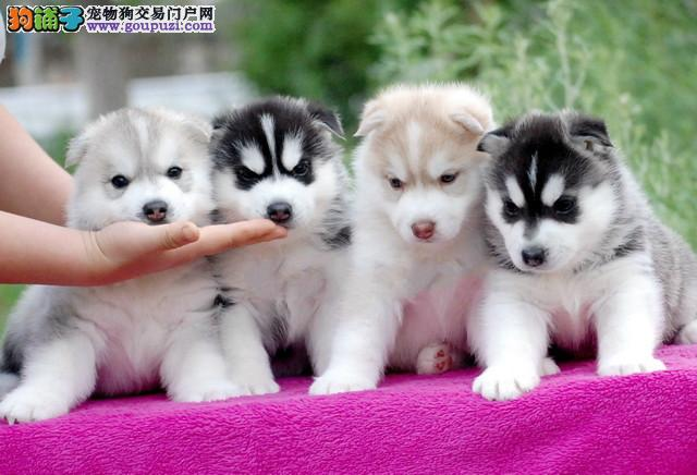 成都哪里有哈士奇犬宠物狗出售 诚信交易 健康纯种质保