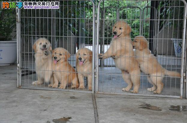 成都哪里有金毛犬宠物狗出售 诚信交易 健康纯种质保