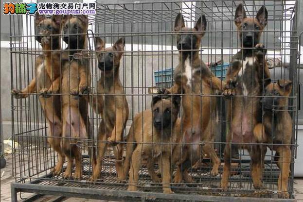 成都哪里有纯种马犬宠物狗出售 诚信交易 健康纯种质保