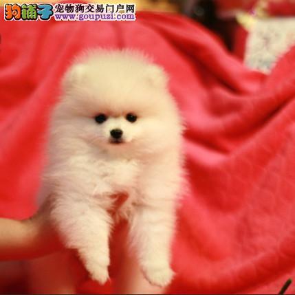 犬舍直销:萨摩耶、拉布拉多、金毛、贵宾等十几个品种