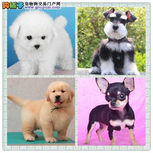 出售各类两到三个月的宠物狗幼犬,纯种健康