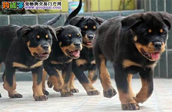 狗场直销各种世界名犬 包纯种 包养活 全国包邮