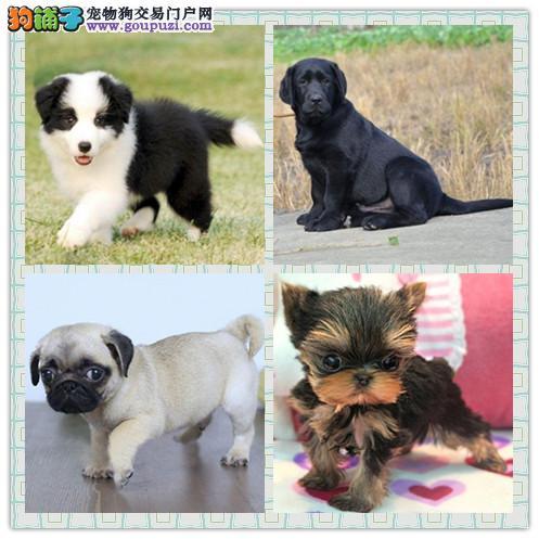 南岸区南坪实体出售幼犬,泰迪比熊博美金毛拉拉