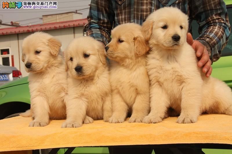 极品金毛幼犬出售、纯种高品质、美系英系、可全国发货