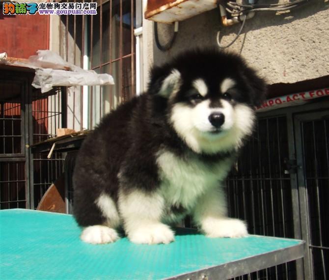 赛级阿拉斯加幼犬出售、黑十字、桃脸、保证纯种健康