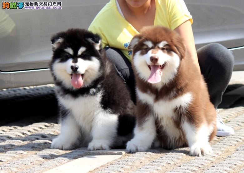 犬舍直销多个品种、金毛、拉布拉多、萨摩等等全国发货