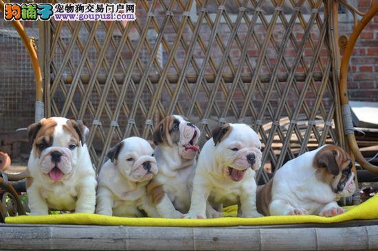 赛级英国斗牛犬幼犬,疫苗齐全包养活,可送货上门