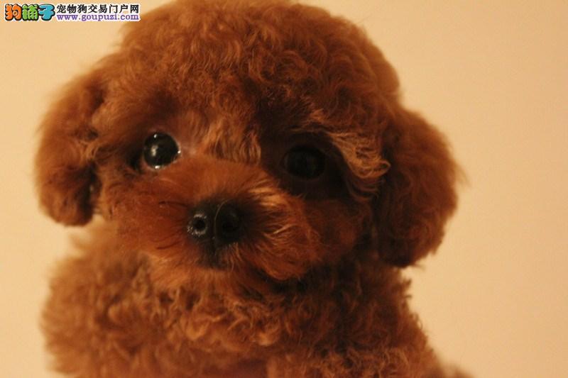 纯种泰迪熊幼犬、苹果脸、玩具体型、迷你体型都有