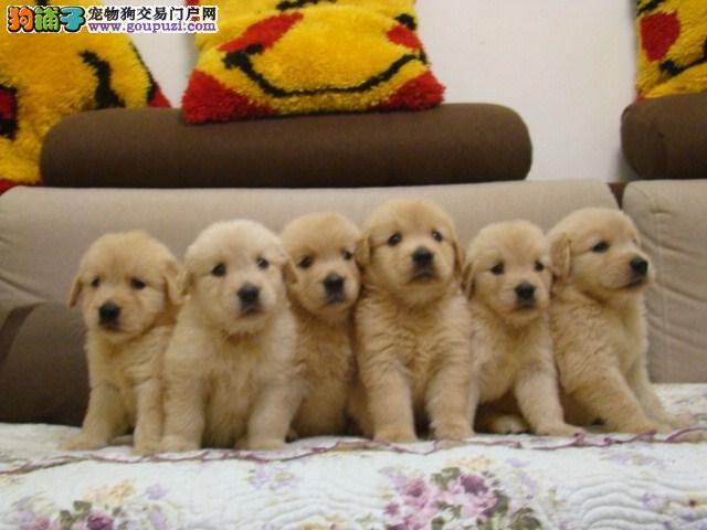 纯种大骨架金毛幼犬、赛级品质、血统纯种、可全国发货
