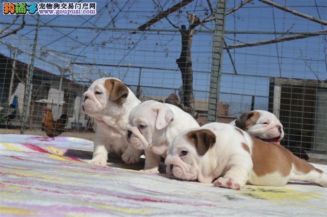 英国斗牛犬幼犬出售中、纯度好100%健康、三包终生协议