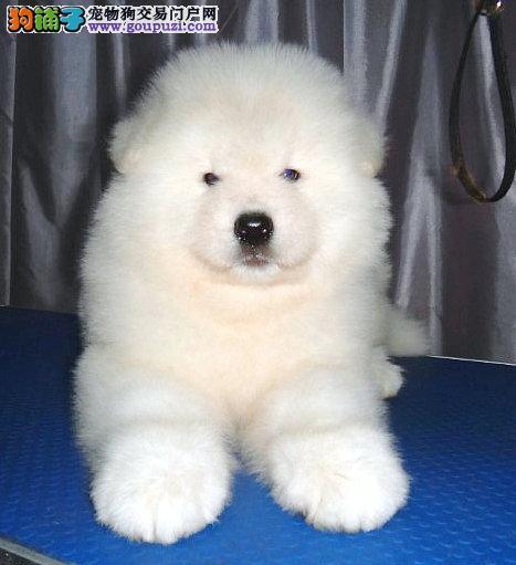犬舍直销、纯种澳版美版萨摩耶幼犬、血统好、全国发货