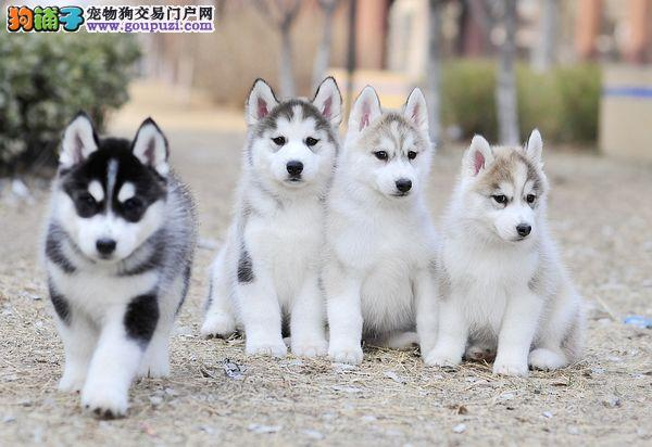纯种哈士奇雪橇犬、颜色均有、血统纯种、全国发货