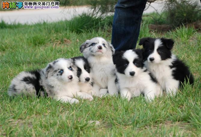 最大繁殖基地直销、边牧幼犬、纯种七白三通、全国发货