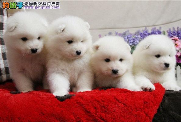 犬舍直销纯种澳版萨摩耶幼犬、纯种血统、可全国发货