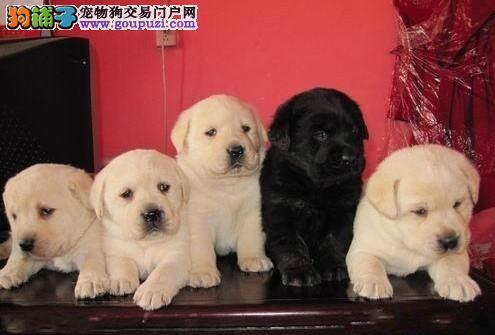专业缔造、赛级拉布拉多犬、纯种健康血统好、全国发货