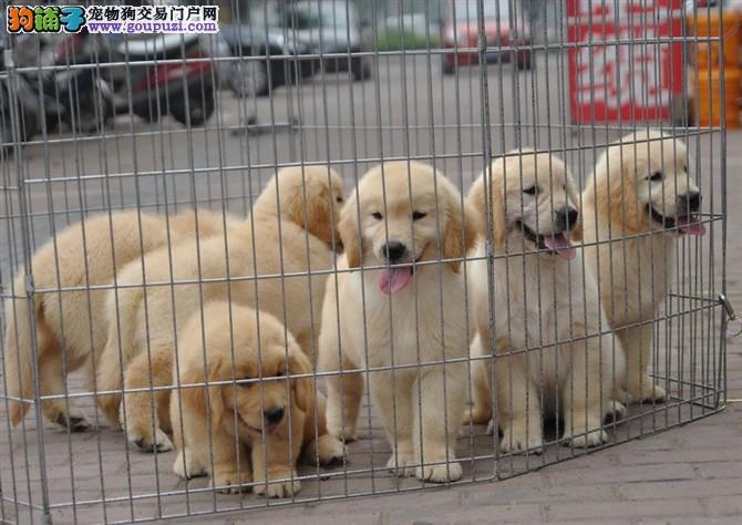 犬舍直销、纯种赛级金毛幼犬、血统纯正、支持全国发货