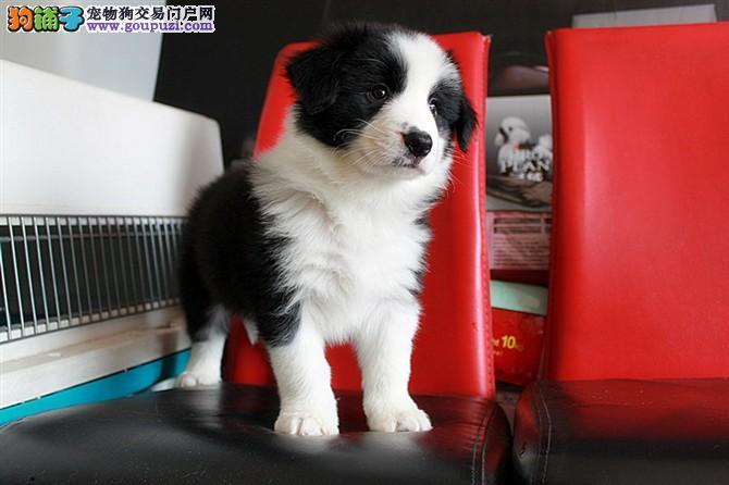 最大繁殖基地、纯种边牧幼犬出售、纯正血统、全国发货