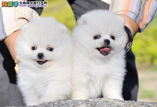 专业缔造、精准小体哈多利球形博美幼犬、赛级博美幼犬