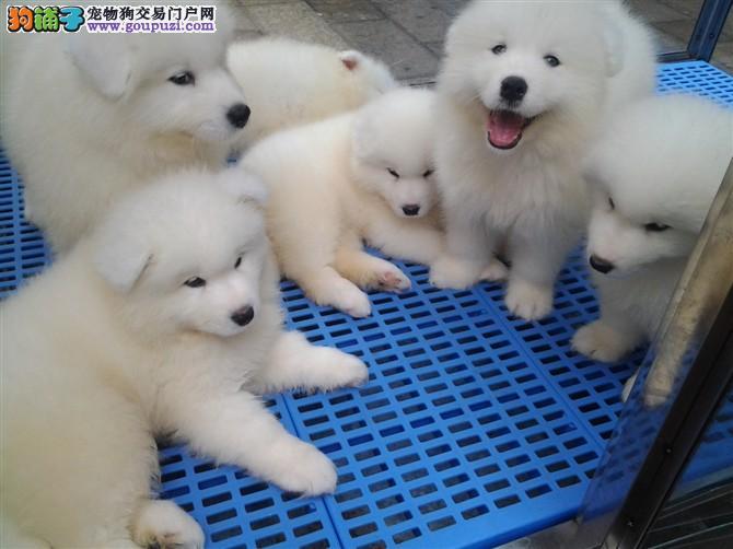 犬舍直销纯种萨摩耶幼犬、品相好、血统好、全国发货