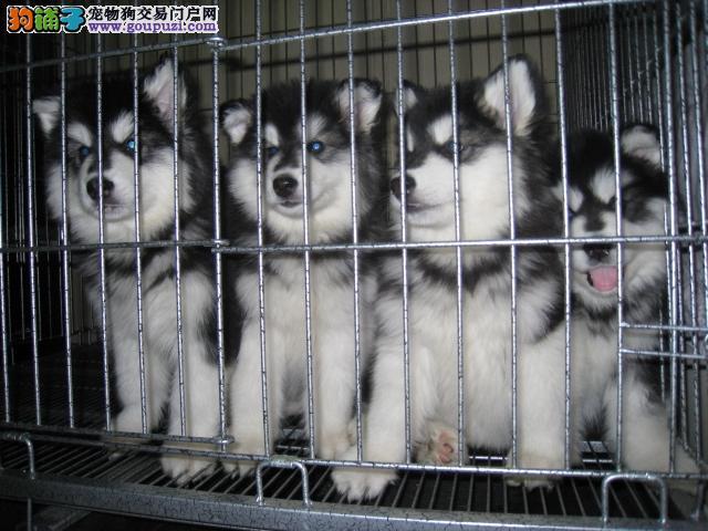 精品阿拉斯加幼犬、黑十字、大骨架阿拉斯加、全国发货