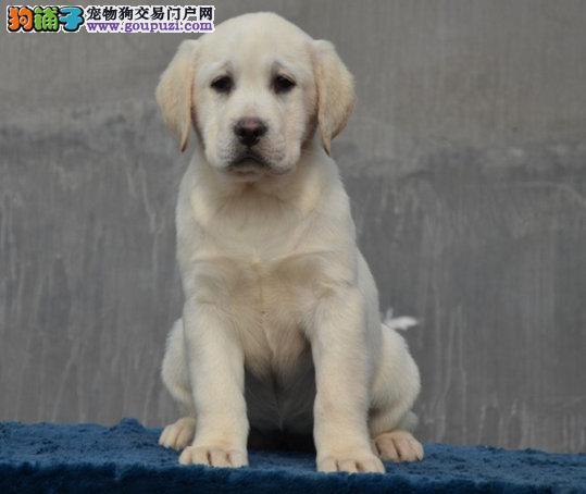犬舍直销、高品质拉布拉多犬、纯种健康、可全国发货