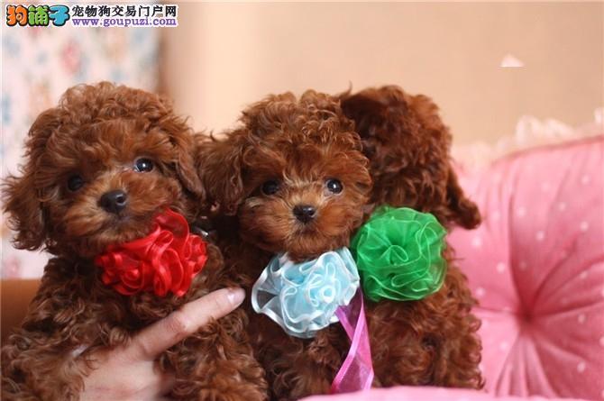 精品泰迪幼犬出售、玩具体、茶杯体、品相好、全国发货