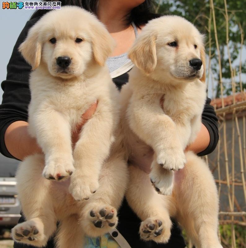 纯种枫叶系金毛幼犬、大头宽嘴、血统纯正、可全国发货